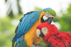 Couple Macaws Stock Photography