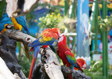 Couple of macaws in romance scene. Stock Images
