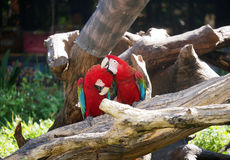 Couple of macaws in romance scene. Stock Image