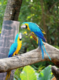 Couple of macaws in romance scene. Royalty Free Stock Photo