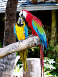 Couple of macaws in romance scene. Royalty Free Stock Photography