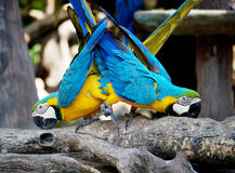 Couple of macaws in romance scene. Royalty Free Stock Images