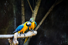 Couple macaws sitting Royalty Free Stock Image