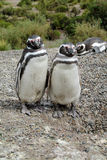 Couple of magellan penguins royalty free stock photography