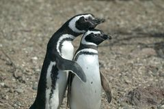 Couple of Magellanic Penguins. A cute couple of Magellanic Penguins in a human pose Royalty Free Stock Photography