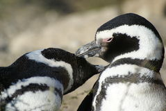 COUPLE OF MAGELLANIC PENGUINS Stock Photo
