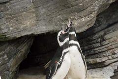 Couple of magellanic penguins Stock Photos