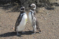 Couple of magellanic penguins Royalty Free Stock Image