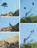 Couple of magpies collage royalty free stock photos