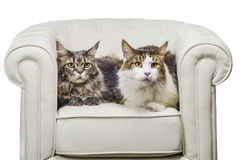 Couple of Maine Coon cat seating on white sofa. A beautiful Maine Coon cat seating on white couch and on white background, whit gray tiger hair, looking to the Stock Photo