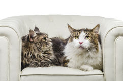 Couple Maine Coon cat seating on white sofa closeup look right. A beautiful long hair couple of Maine Coon cat seating on white couch and on white background Royalty Free Stock Image