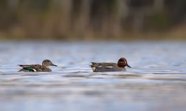 Couple of Male and female eurasian teals swim together from side view over water pond stock images