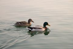 Mallard Duck Couple swims in lake at sunset. Couple of male and female mallard ducks. Mallard ducks couple, anas boschas Stock Photo