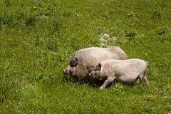 Couple male and female pigs grazing in the green spring meadow Stock Photo