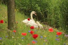Couple swans with poppies in spring. Couple, male and female swan on the nest with blooming popppies, cornflowers and phacelia along the shore of the pond in Royalty Free Stock Photos