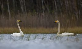 Couple of Male and female whooper swans sail to each other on big birch lake in spring royalty free stock photography