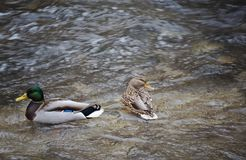 Couple male and female wild duck - mallard anas platyrhynchos swimming in the river. Shot from above stock images