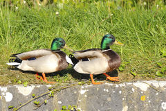 Couple of mallard duck Royalty Free Stock Image