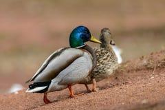Couple Mallard Ducks Royalty Free Stock Photos