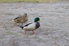 Couple of Mallard Ducks. Anas platyrhynchos Stock Photo