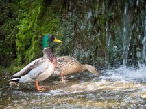 Couple mallard ducks eating in the water near waterfall. The couple mallard ducks eating in the water near waterfall Royalty Free Stock Photography