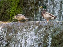 Couple mallard ducks Looking for food at the water in the waterf. The Couple mallard ducks Looking for food at the water in the waterfall Royalty Free Stock Images
