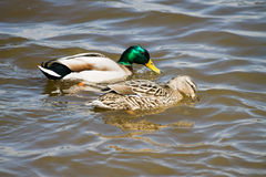 Couple of Mallard Ducks. Couple of Mallards swimming in the pond Royalty Free Stock Image