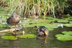 Couple Mallard ducks Stock Images