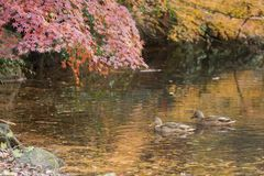 Couple of ducks. Couple of mallard ducks swims on the pond which reflects autumn tints Royalty Free Stock Images