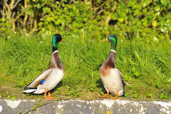 Couple of Mallard Ducks. Whit the head Held High and looking each other Royalty Free Stock Photo