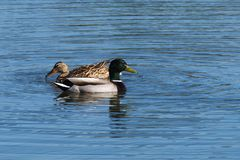Couple of mallards (Anas platyrhynchos). Svimming in a pond in an Italian natural reserve Stock Photography