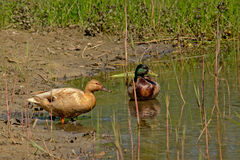 Couple of mallards on the side of a pond. Male and female ducks at the muddy shore of a pond Stock Image