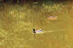 Couple of mallards swimming together. On the Loing river Stock Image