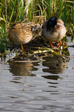 Couple of Mallards or Wild ducks. Preparing to rest for the night on nest in april Stock Images