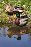 Couple of Mallards or Wild ducks. At the waterside - vertical with reflection Royalty Free Stock Images