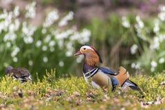 Couple of Mandarin duck Stock Photos