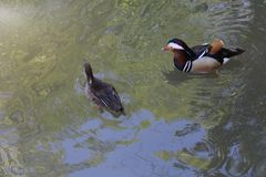 Couple of Mandarin Ducks stock photos