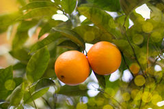 A couple of mandarines on a tree. Two mandarines on a tree in sunlight and sunny bokeh Stock Images