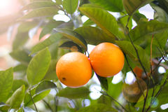 A couple of mandarines on a tree Stock Image