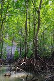 Mangrove forest or ecosystem stock photography