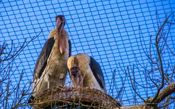 Couple of marabou storks standing together in their nest, tropical birds from africa during breeding season. A couple of marabou storks standing together in royalty free stock image