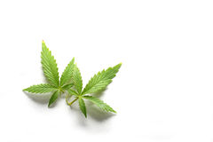 Couple of Marijuana Leaves. Couple of Marijuana, or Cannabis, leaves on white background Royalty Free Stock Photo