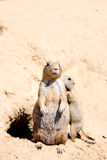 Couple of marmots. Cute mother and baby of alpine marmots Stock Image