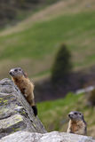 Couple of marmots (Marmota marmota). A pair of marmots on a rock in their natural environment Royalty Free Stock Photography
