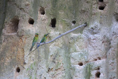 Couple of maroon neck bee-eaters bird out of cave Stock Photos
