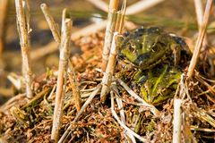 A couple of marsh frogs. royalty free stock photos