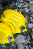 Couple of Masked Butterflyfish Stock Photos