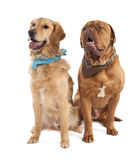 Couple of a Mastiff and a gloden retriever Royalty Free Stock Photography