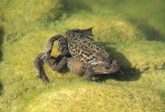 Mating frogs. Couple of mating frogs of genus Rana in the pool of water royalty free stock image