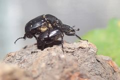Variable chafer. The couple of mating variable chafers Royalty Free Stock Image